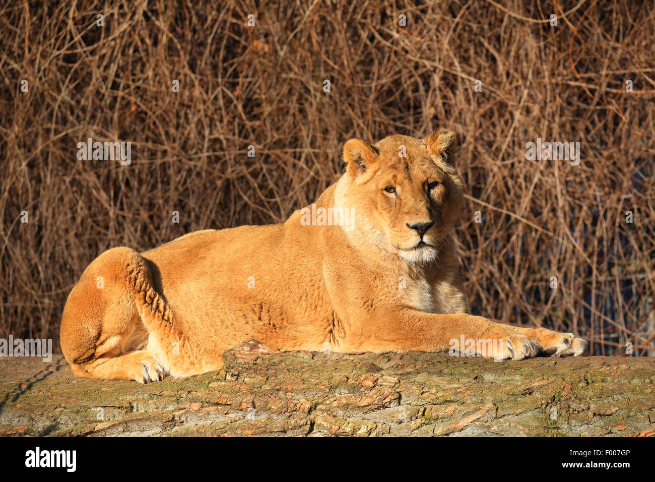 Asiatic lion (Panthera leo persica goojratensis), resting lioness - Stock Image