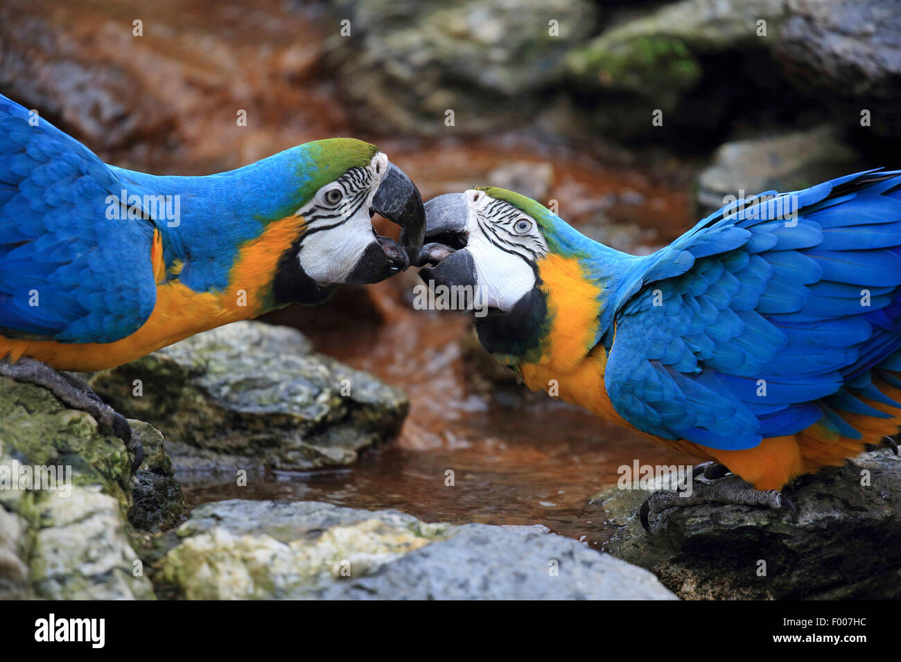 Blue and yellow macaw, Blue and gold Macaw, Blue-and-gold Macaw, Blue-and-yellow Macaw (Ara ararauna), pair billing - Stock Image