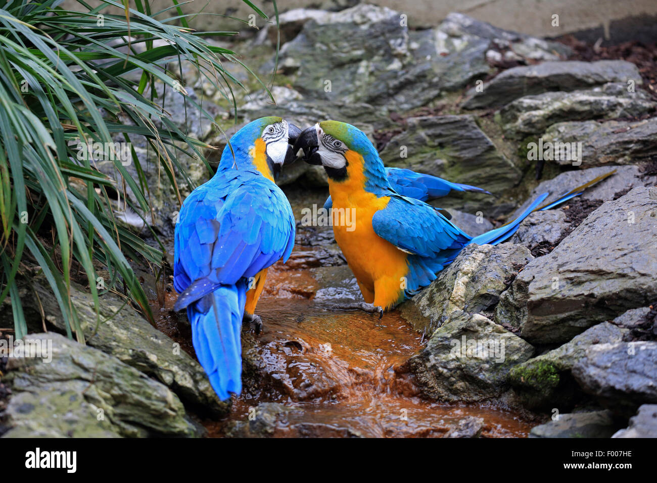 Blue and yellow macaw, Blue and gold Macaw, Blue-and-gold Macaw, Blue-and-yellow Macaw (Ara ararauna), pair - Stock Image