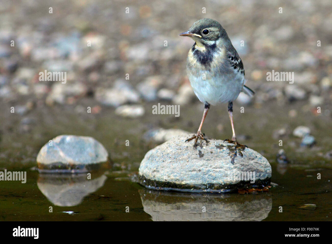 Pied wagtail, Pied white wagtail (Motacilla alba), juvenile on a stone at water, Germany - Stock Image