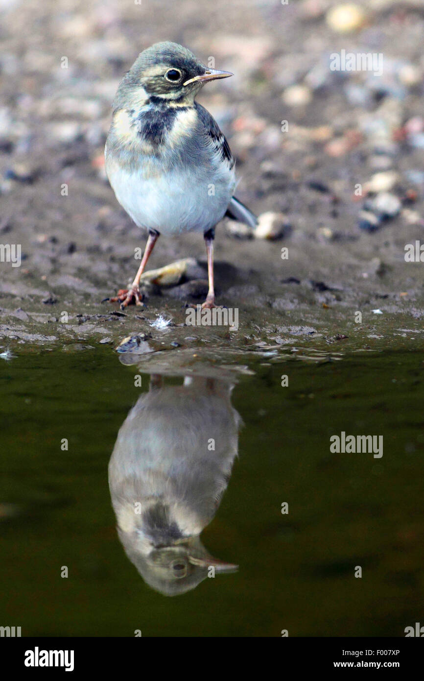 Pied wagtail, Pied white wagtail (Motacilla alba), juvenile at water with mirror image, Germany - Stock Image