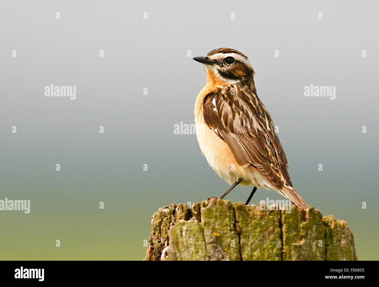 whinchat (Saxicola rubetra), male on its outlook, Germany - Stock Image
