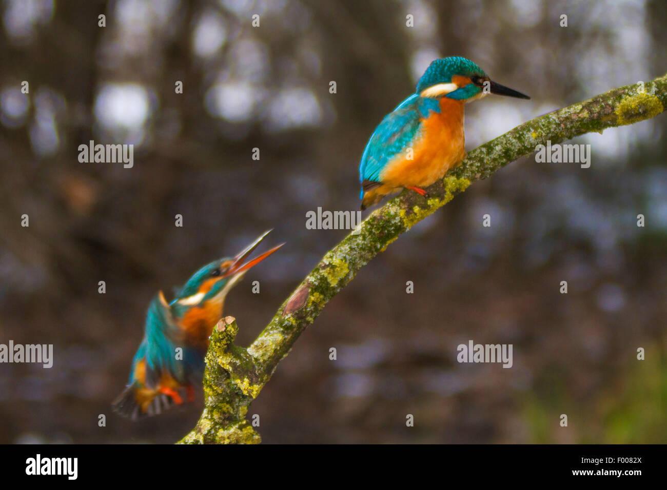 river kingfisher (Alcedo atthis), female attacks male, Germany, Bavaria - Stock Image