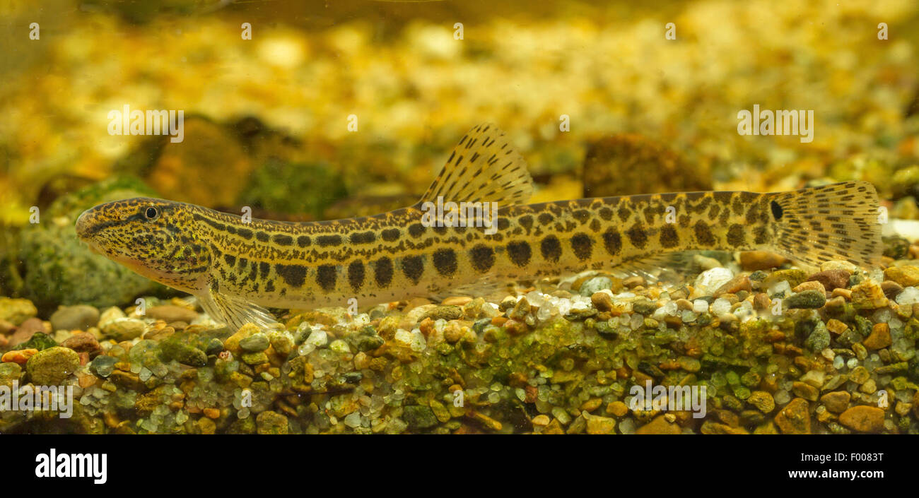 spined loach, spotted weatherfish (Cobitis taenia), female - Stock Image