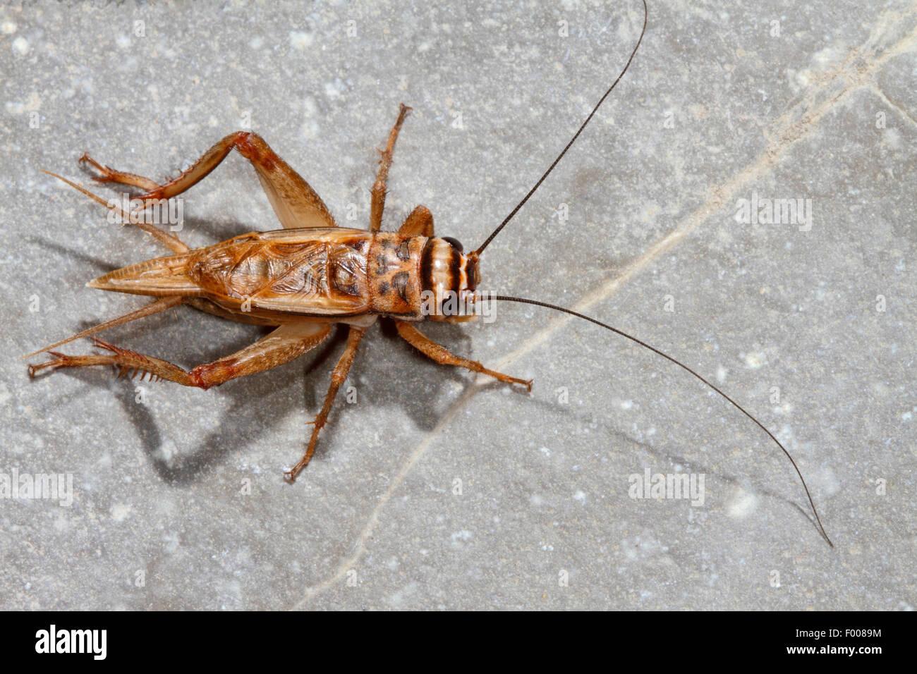 House cricket, Domestic cricket, Domestic gray cricket (Acheta domesticus, Acheta domestica, Gryllulus domesticus), - Stock Image