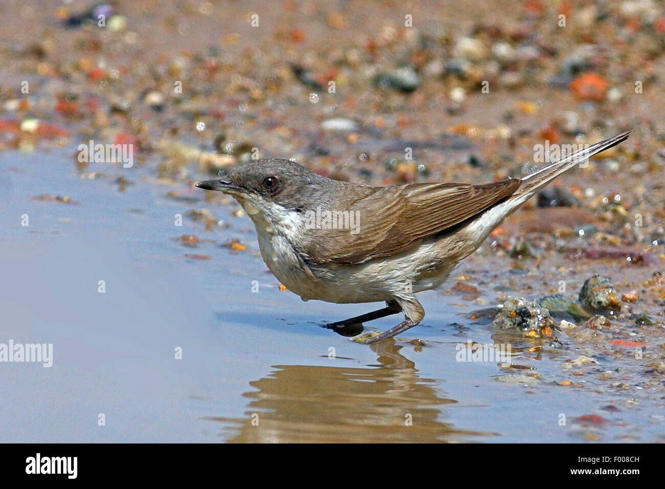 Lesser whitethroat (Sylvia curruca), in a puddle, Germany - Stock Image