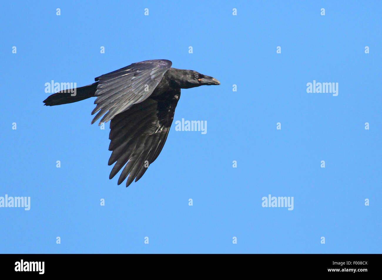 common raven (Corvus corax), in flight, Germany - Stock Image