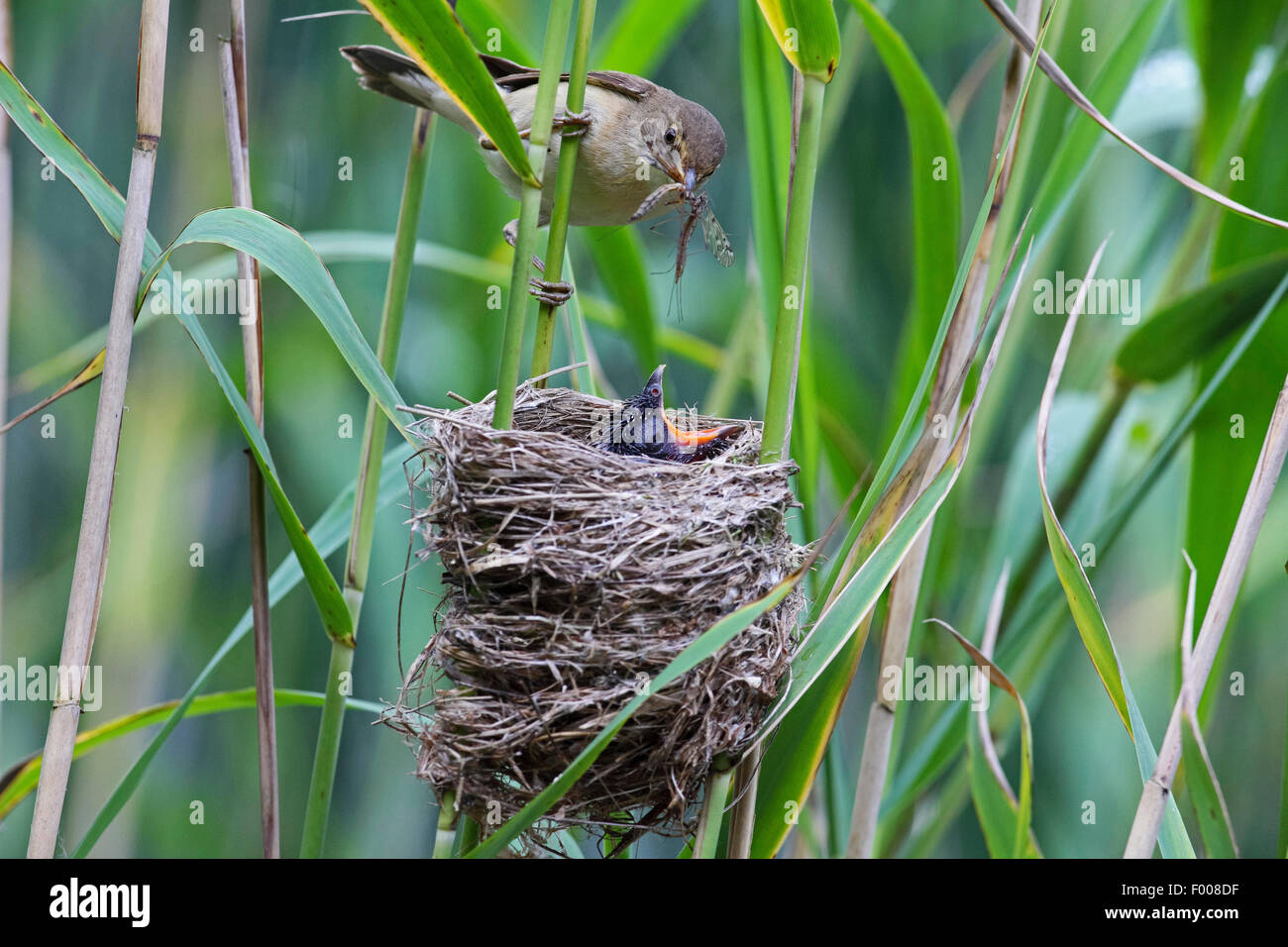 Eurasian cuckoo (Cuculus canorus), chick in the nest of a reed warbler, reed warbler feeding the cuckoo chick, Germany - Stock Image