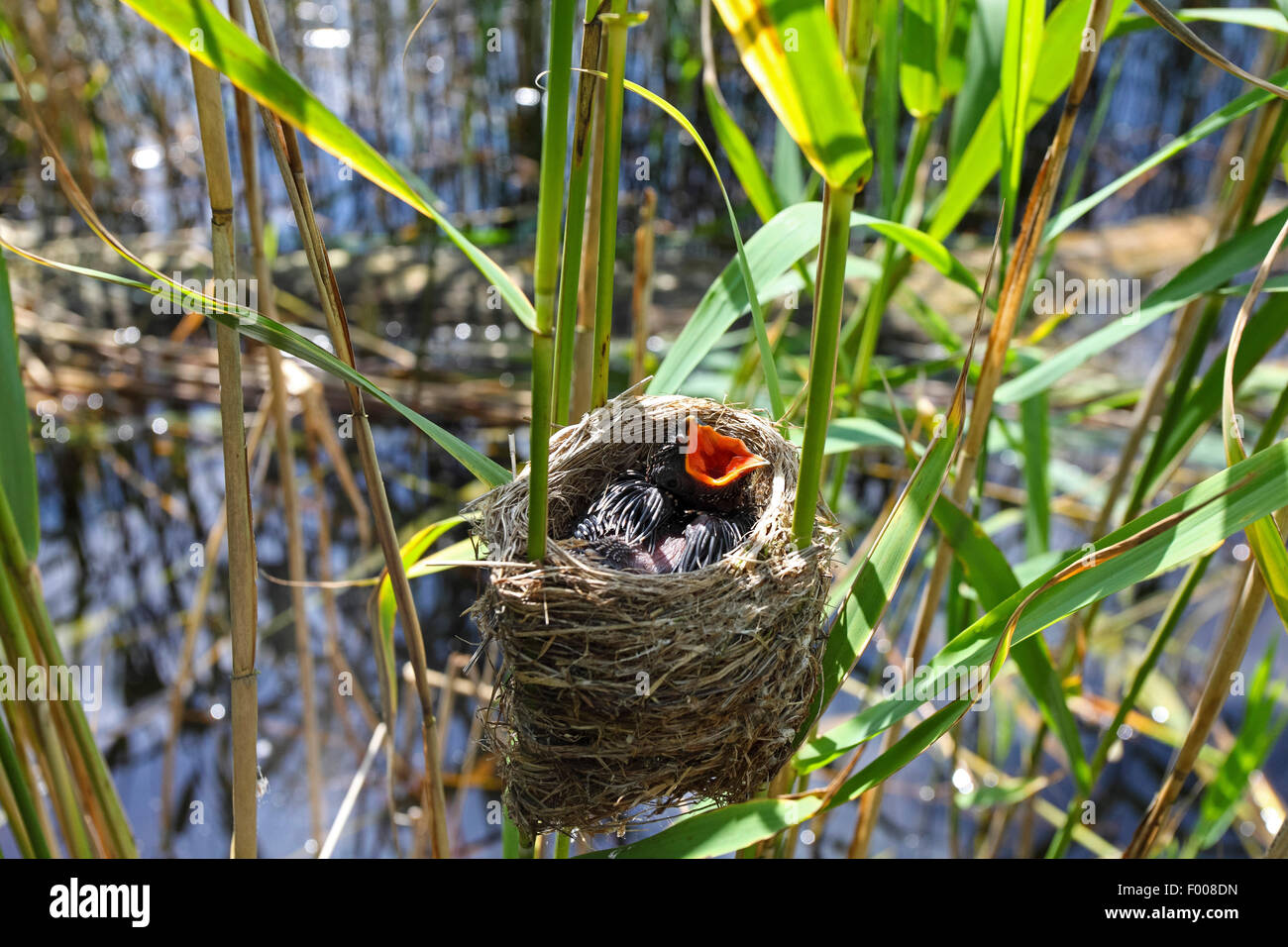 Eurasian cuckoo (Cuculus canorus), chick in the nest of a reed warbler, Germany - Stock Image