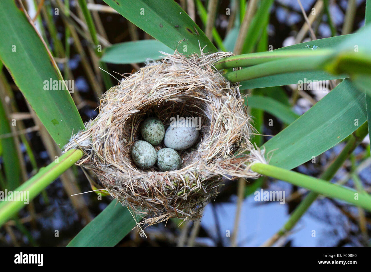 Eurasian cuckoo (Cuculus canorus), eggs in the nest, cuckoo put his slightly larger egg in the nest to the eggs - Stock Image