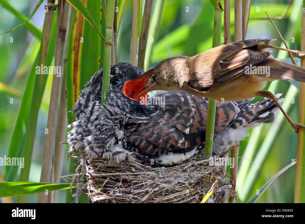 Eurasian cuckoo (Cuculus canorus), fledgling in the nest of a reed warbler, reed warbler feeding the cuckoo chick, - Stock Image