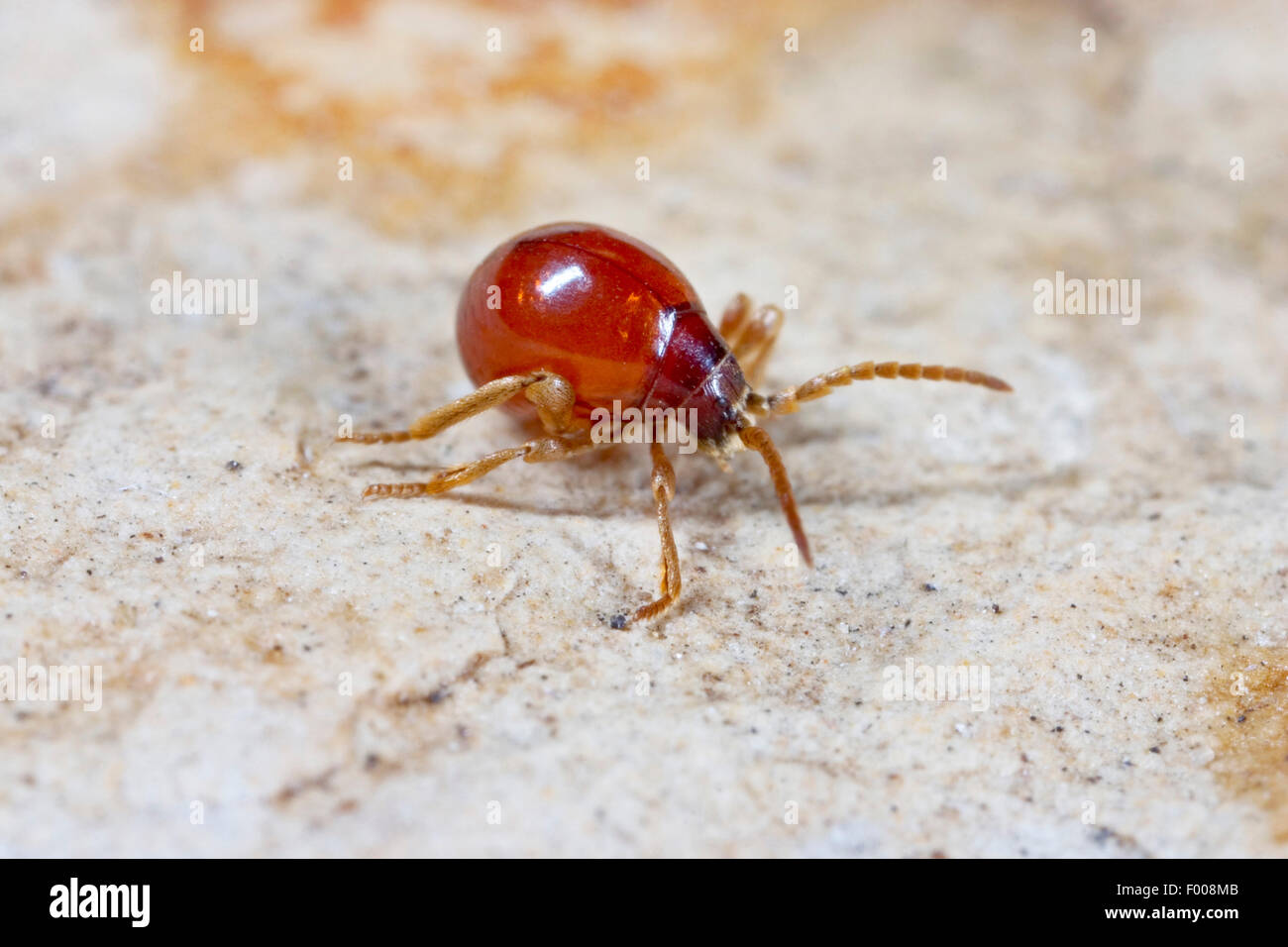 Smooth spider beetle, Hump beetle, Shiny spider beetle (Gibbium psylloides), on the ground, Germany - Stock Image