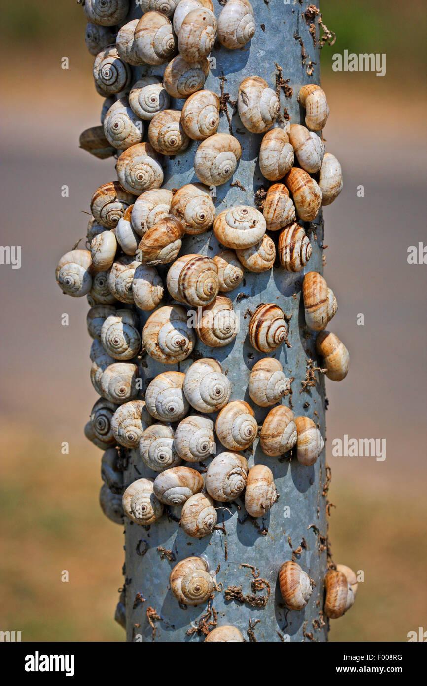 Banded snail, Striped snail, Vineyard snail, White snail, Zoned snail (Cernuella cisalpina, Cernuella jonica), chumminess - Stock Image