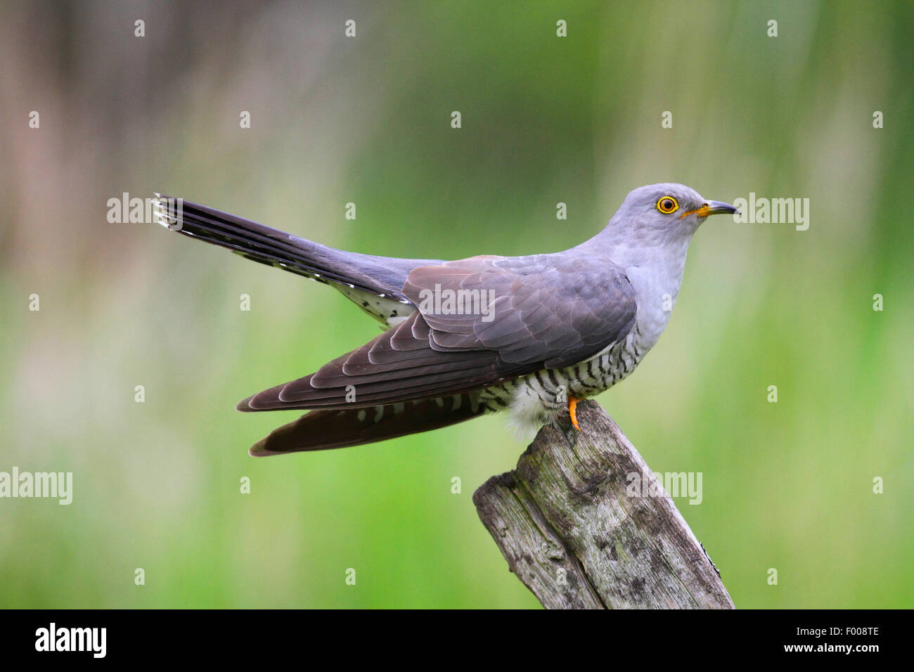 Eurasian cuckoo (Cuculus canorus), sitting on a wooden post, Germany - Stock Image