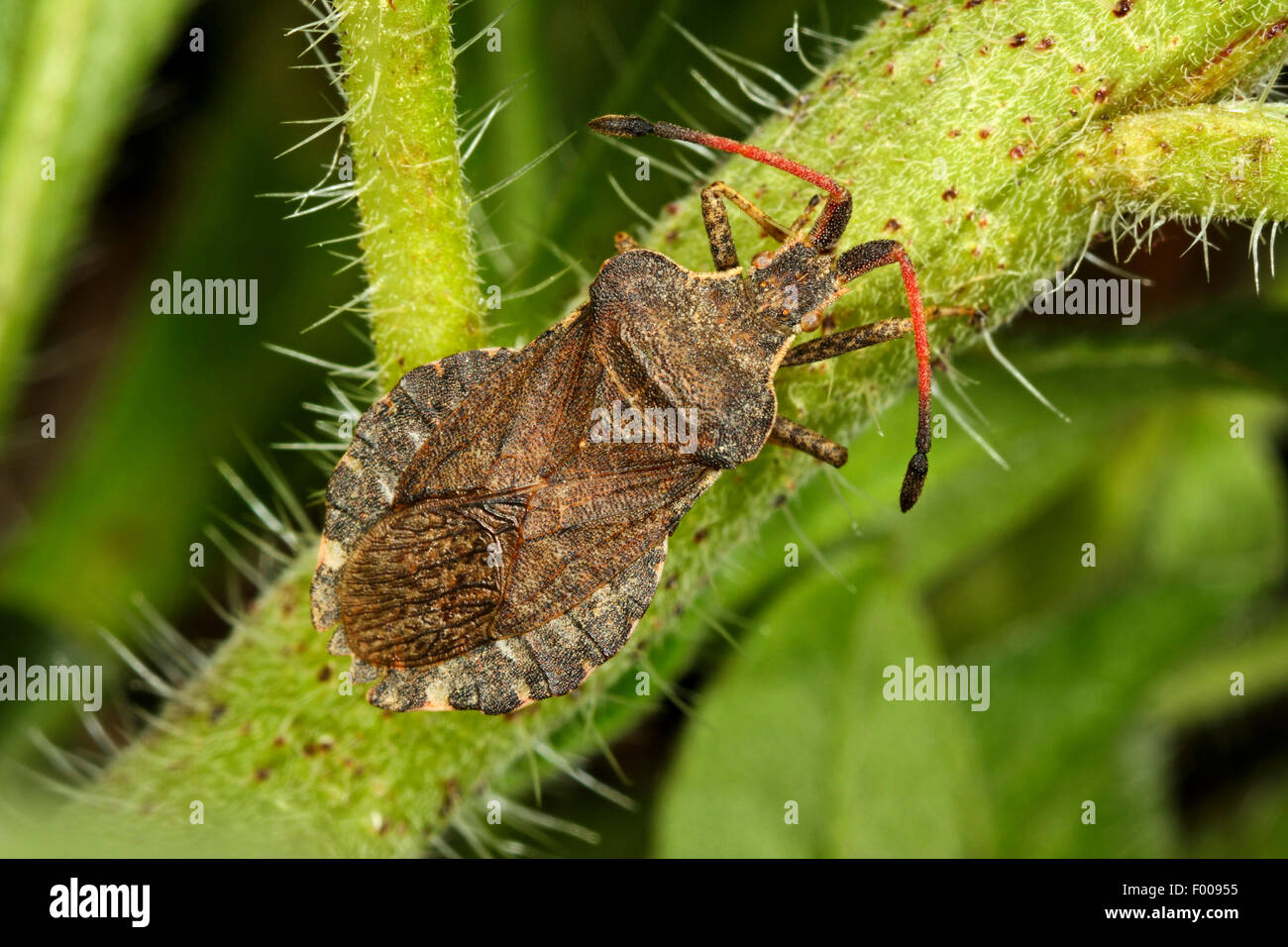 Leaf-footed bugs (Enoplops scapha), at a stem, Germany - Stock Image