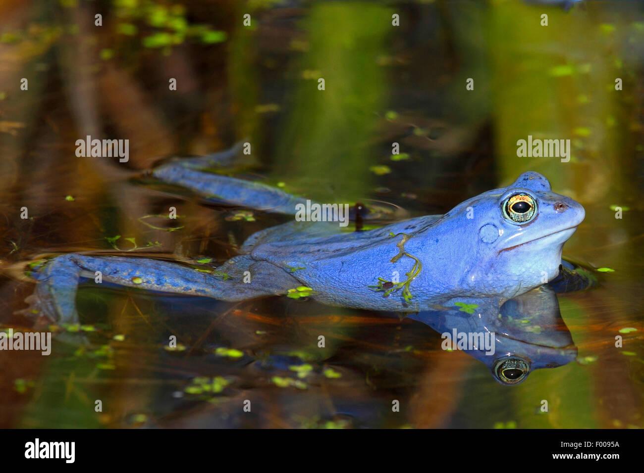 moor frog (Rana arvalis), male in mating season, Germany - Stock Image