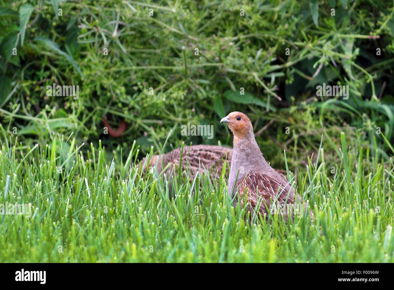 grey partridge (Perdix perdix), grey partridges on grass, Germany - Stock Image