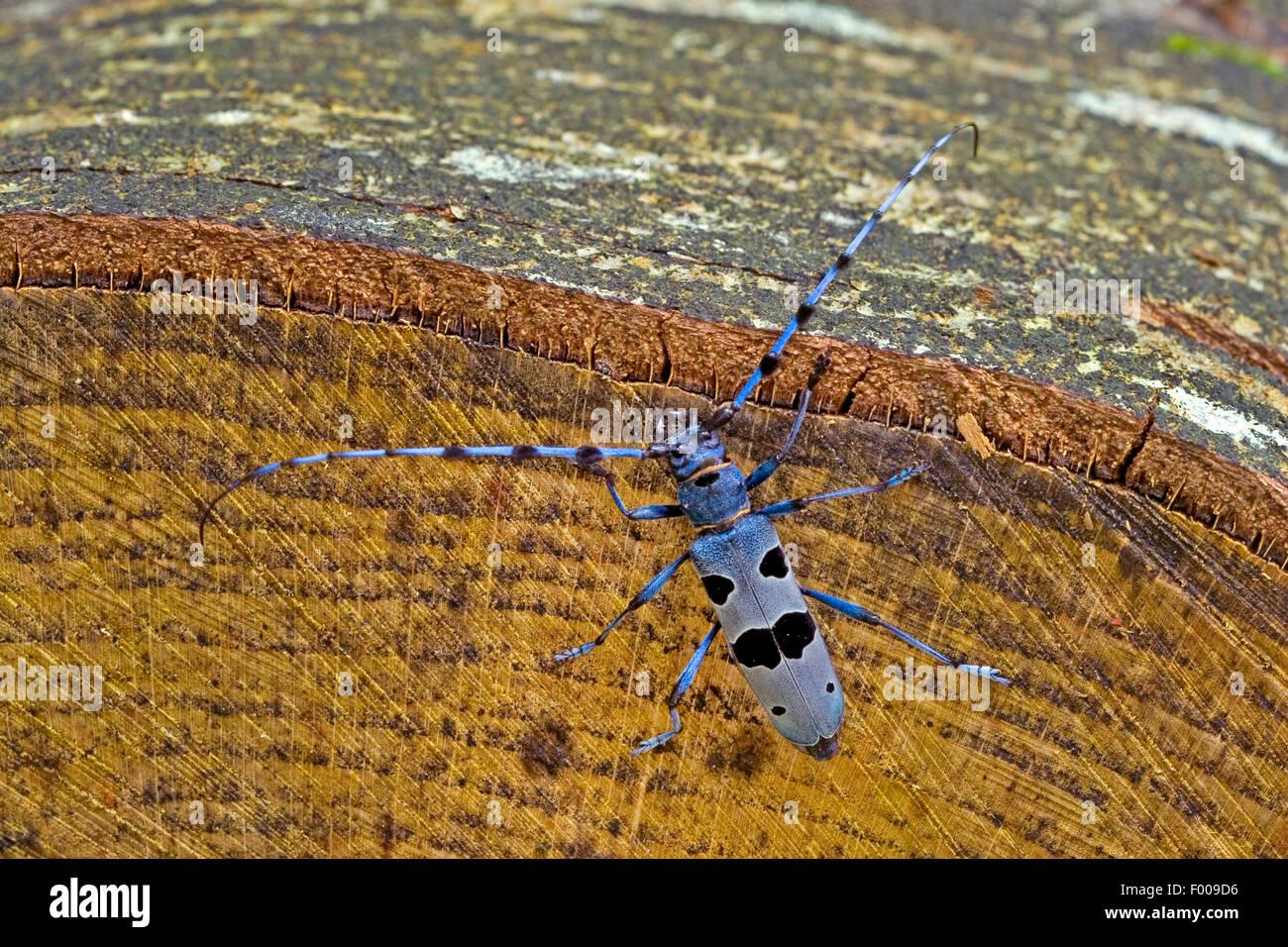 Rosalia longicorn (Rosalia alpina), male at log, Germany - Stock Image