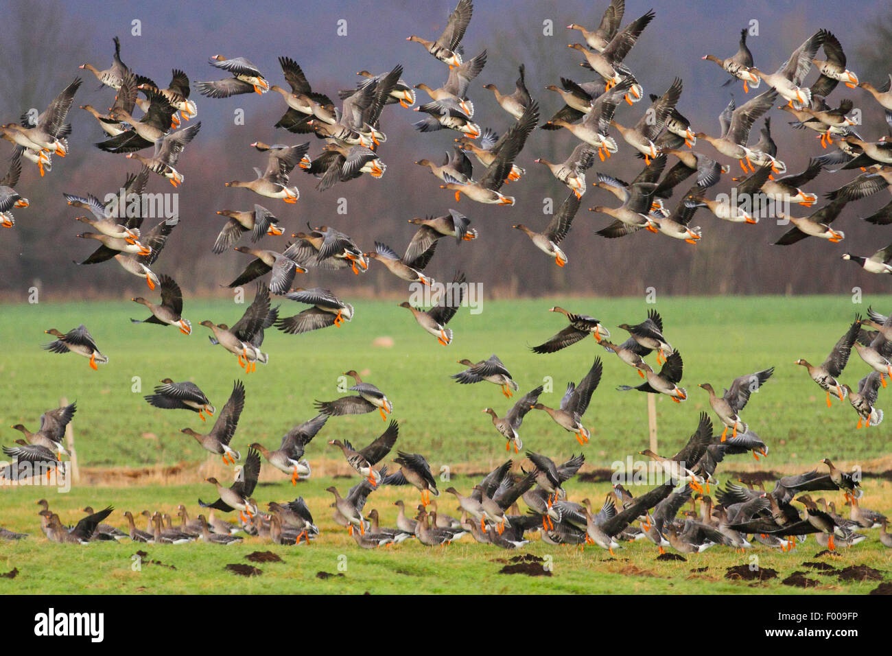 Bean Goose, Taiga Bean Goose (Anser fabalis), flock of  bean geese and greater white-fronted geese flying up, Germany - Stock Image