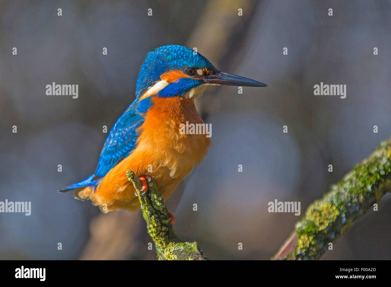 river kingfisher (Alcedo atthis), male, Germany, Bavaria - Stock Image