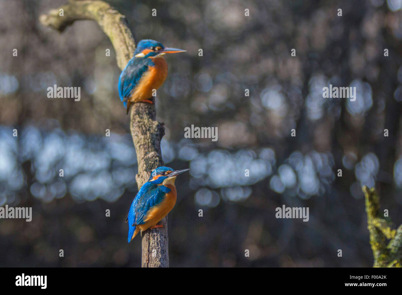 river kingfisher (Alcedo atthis), male and female on their outlook, Germany, Bavaria - Stock Image
