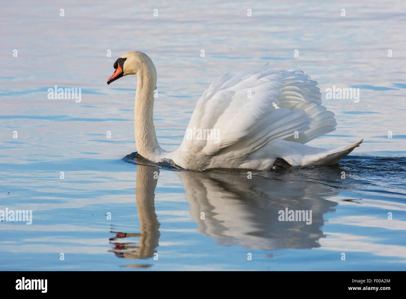mute swan (Cygnus olor), displaying male, Germany, Bavaria, Lake Chiemsee - Stock Image