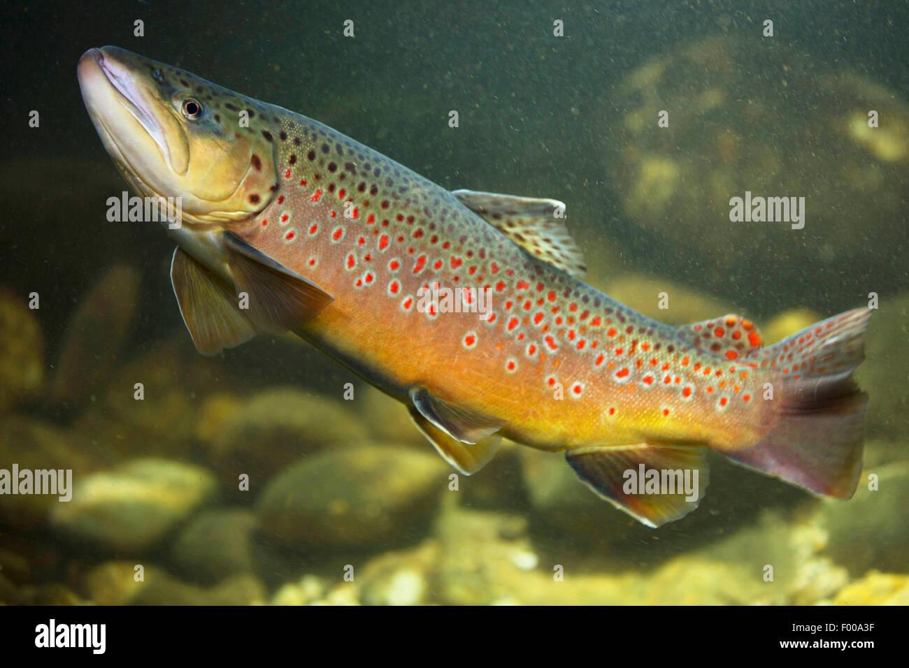 brown trout, river trout, brook trout (Salmo trutta fario), male , Germany, Bavaria - Stock Image