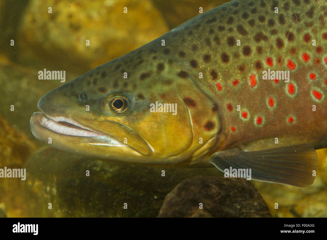 brown trout, river trout, brook trout (Salmo trutta fario), male, portrait, Germany, Bavaria Stock Photo