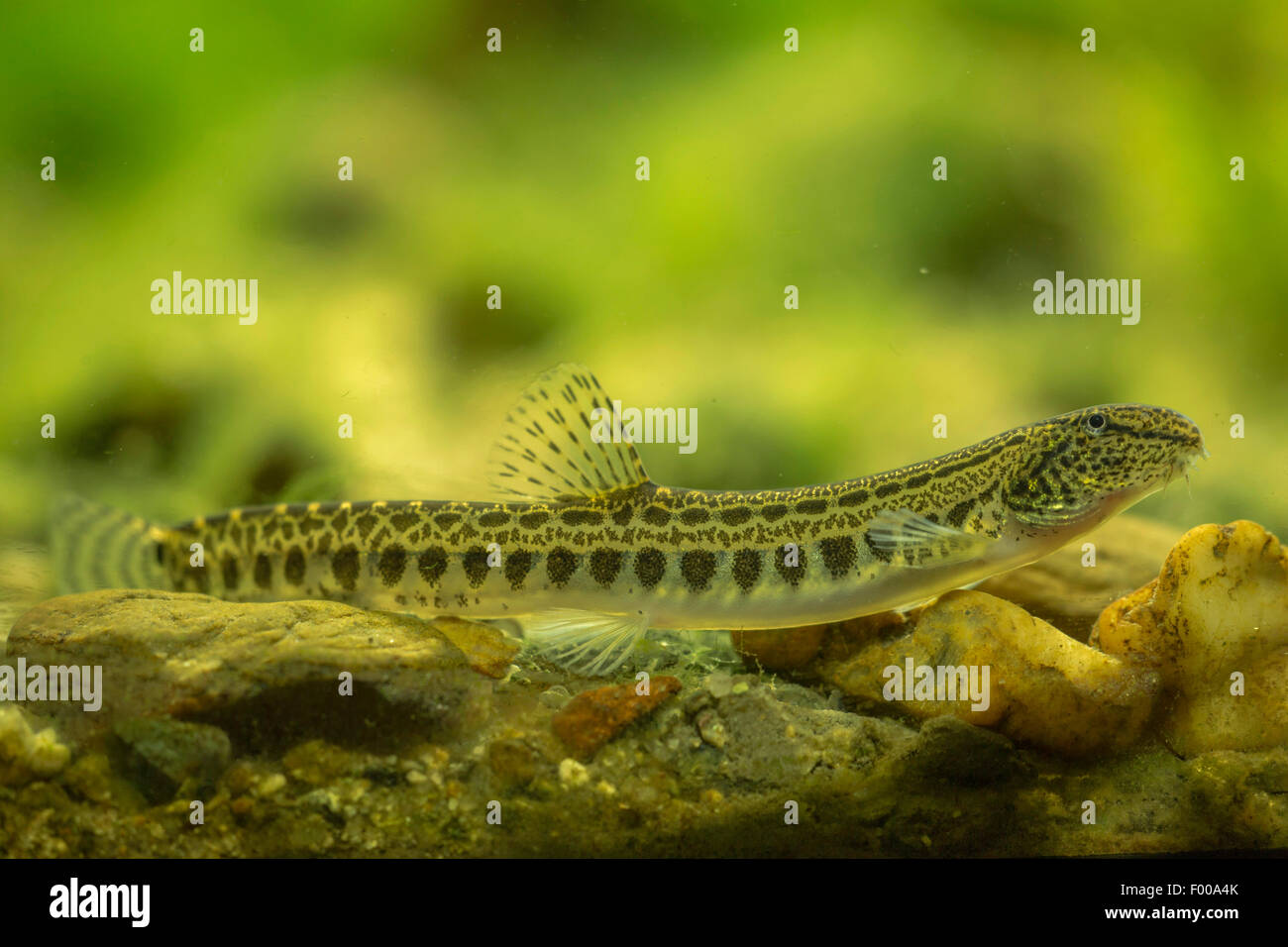 spined loach, spotted weatherfish (Cobitis taenia), on the bottom - Stock Image