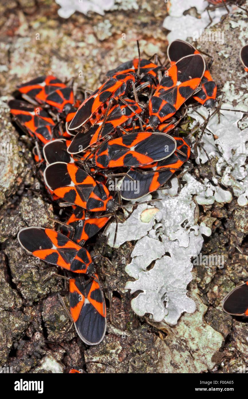 Ground Bug, Lygaeid bug (Tropidothorax leucopterus), many imagos on bark, Germany - Stock Image