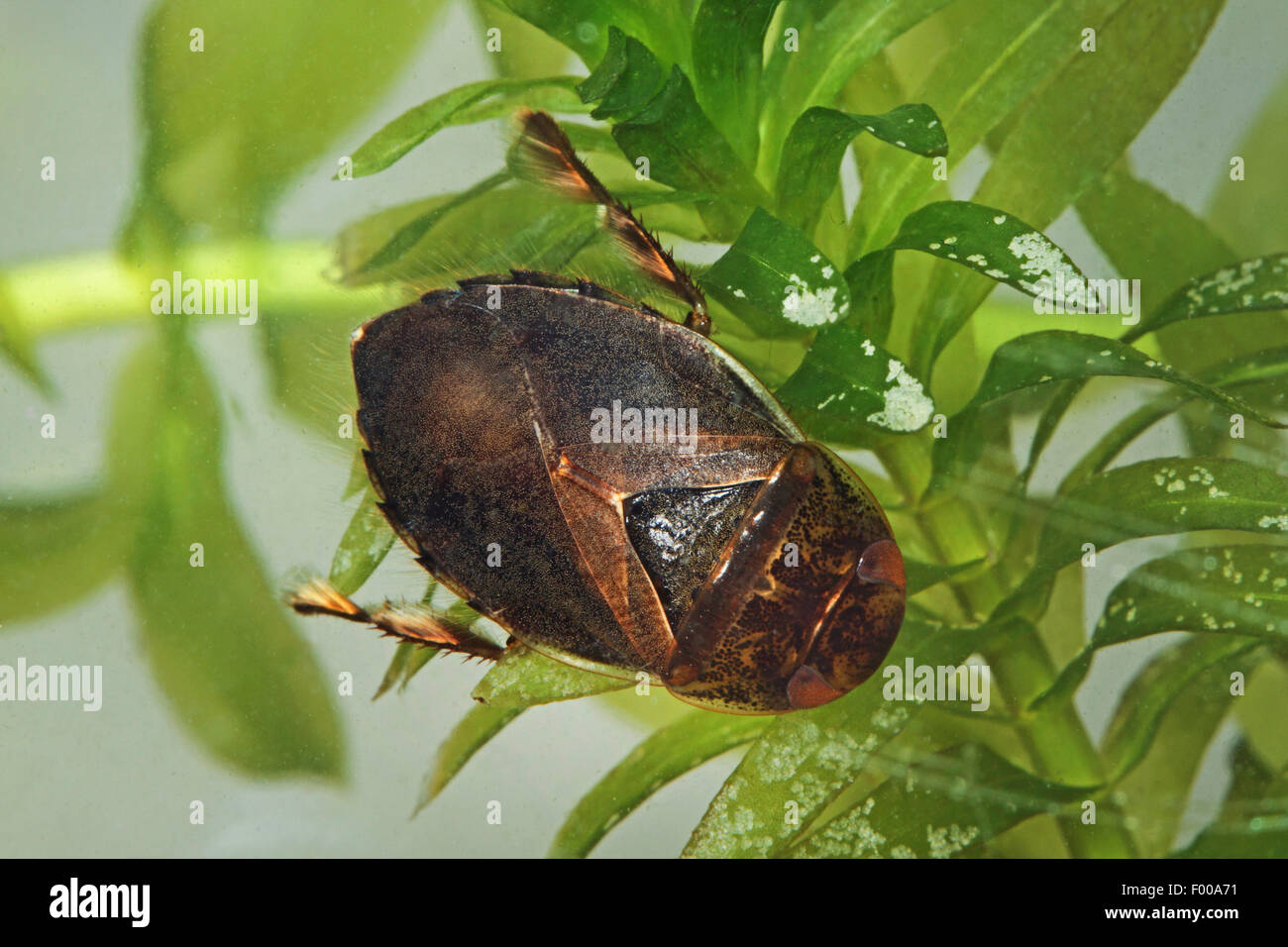 Saucer bug, Creeping water bug (Ilyocoris cimicoides, Naucoris cimicoides), on Elodea, Germany - Stock Image