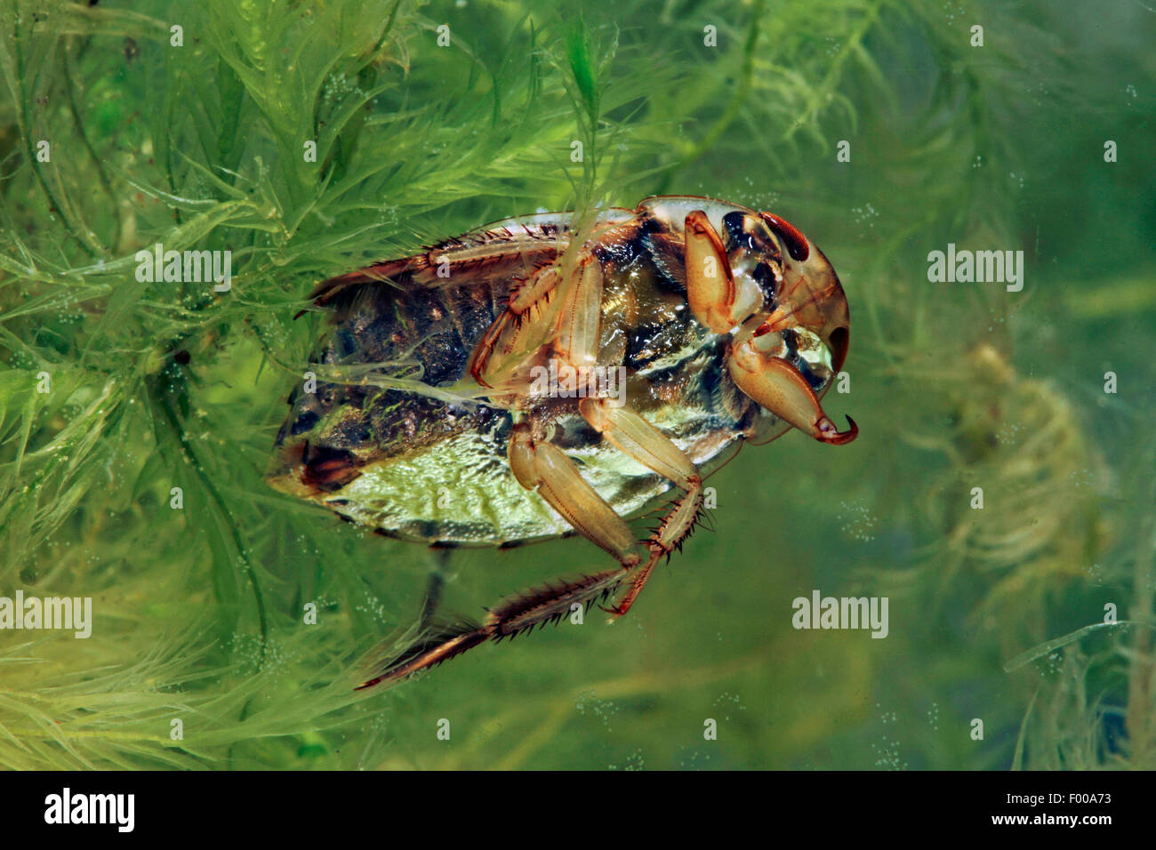Saucer bug, Creeping water bug (Ilyocoris cimicoides, Naucoris cimicoides), swimming, from below, Germany - Stock Image