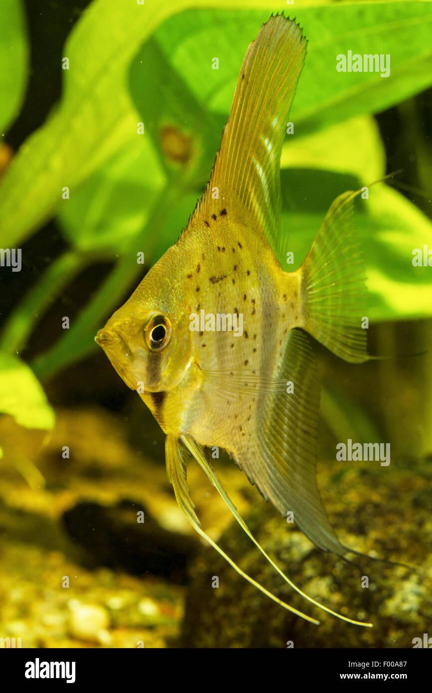 freshwater angelfish, longfin angel fish, black angelfish, scalare (Pterophyllum scalare), swimming - Stock Image