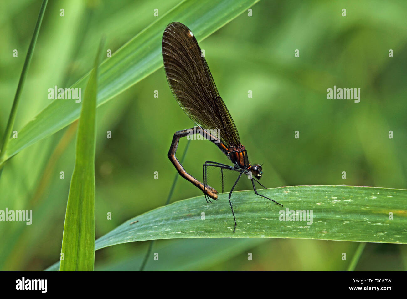 bluewing, demoiselle agrion (Calopteryx virgo), female, Germany Stock Photo