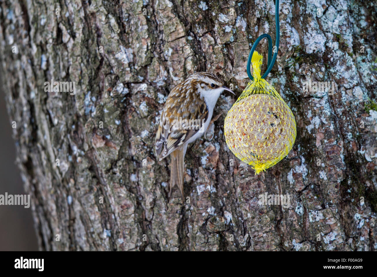 common treecreeper (Certhia familiaris), eating at a fat ball, Germany, Bavaria - Stock Image