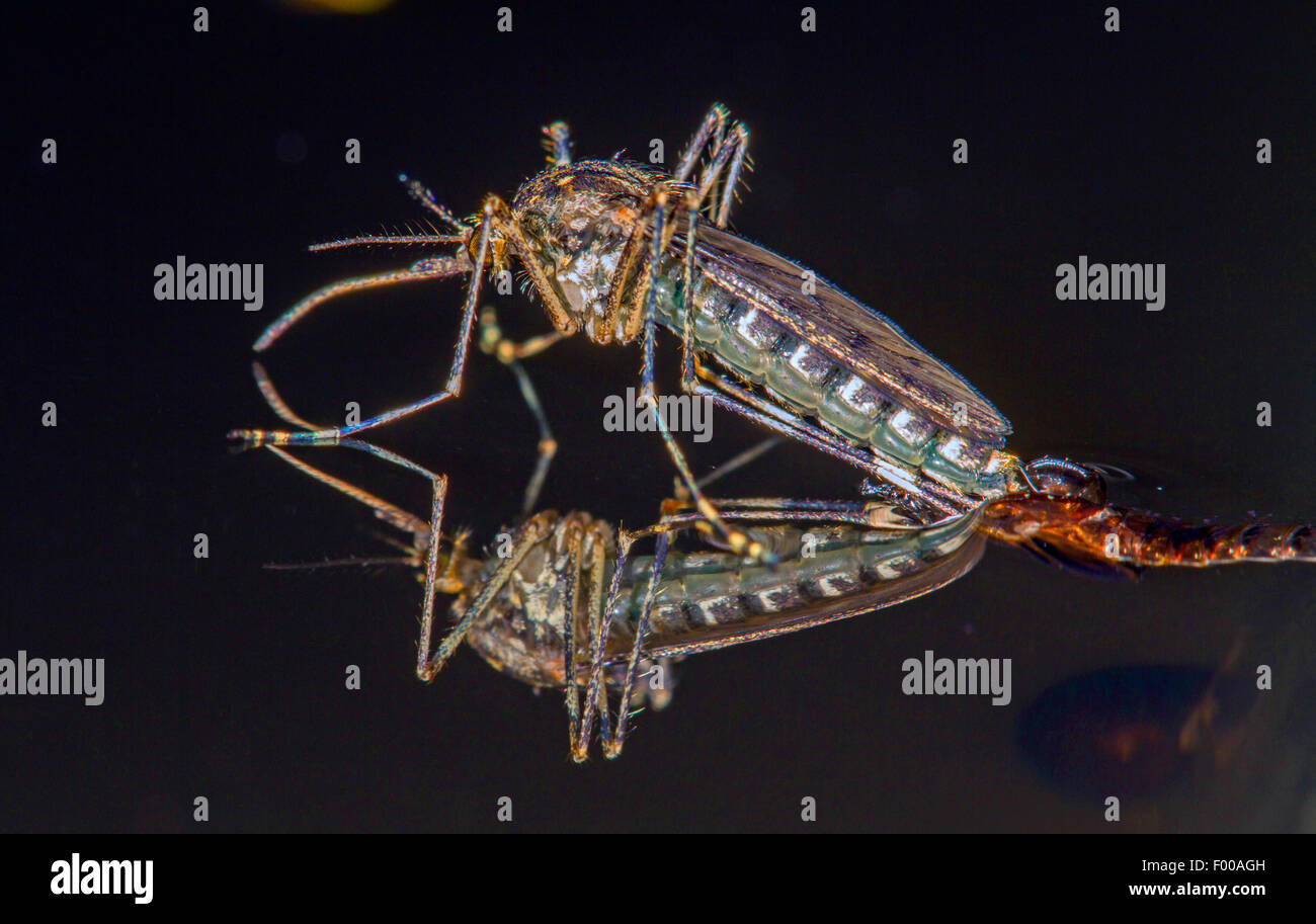 Banded house mosquito, Banded mosquito, Ring-footed gnat (Culiseta annulata, Theobaldia annulata), hatches from - Stock Image