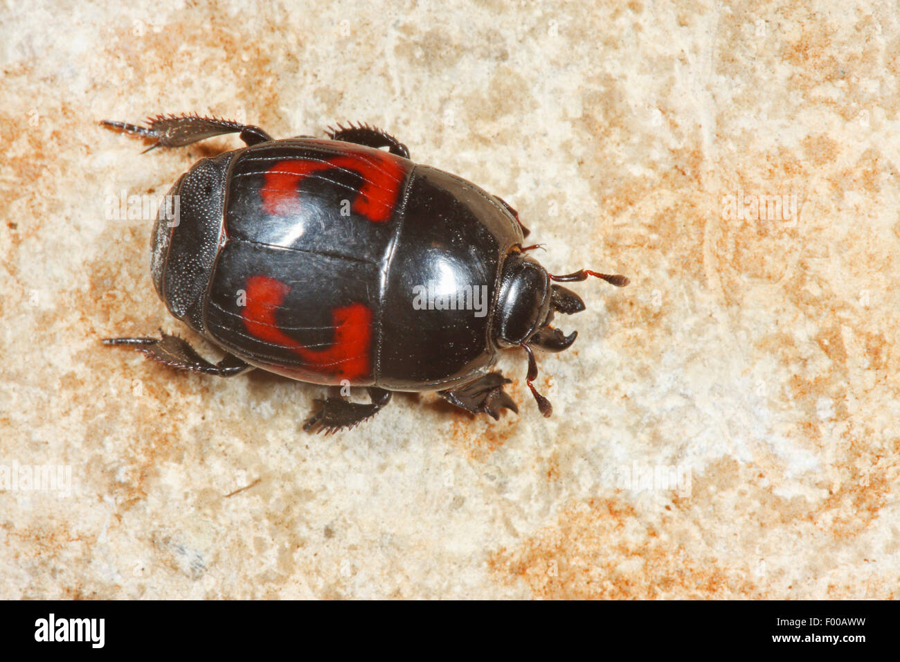 Lunar spotted mimic beetle, Lunar-spotted Mimic Beetle (Hister quadrimaculatus), on a stone, Germany - Stock Image
