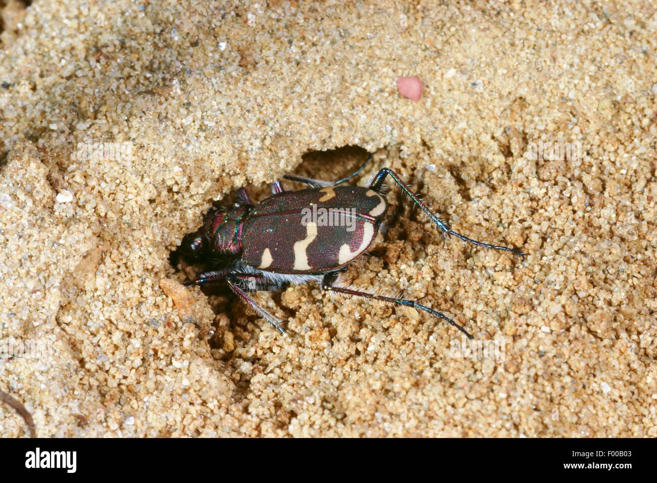 dune tiger beetle (Cicindela hybrida), digging in the sand, Germany - Stock Image