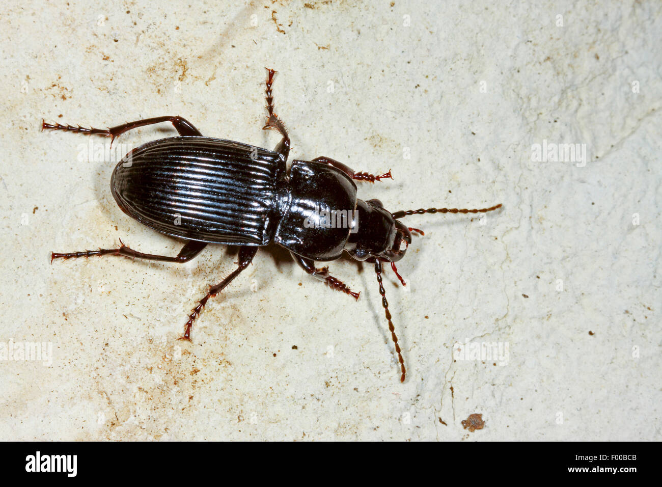 Parallel-sided ground beetle (Abax parallelepipedus, Abax ater), on the ground, Germany - Stock Image
