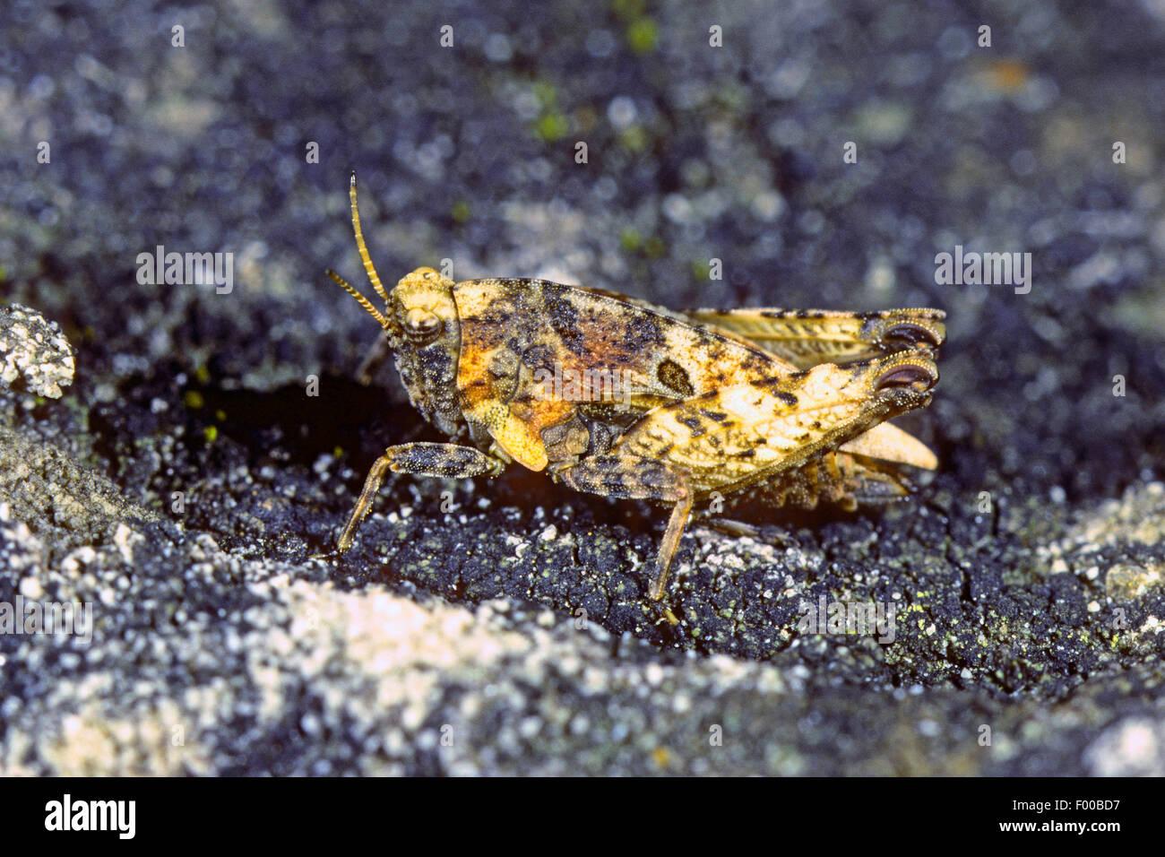 Twospotted groundhopper (Tetrix bipunctata), female, Germany - Stock Image