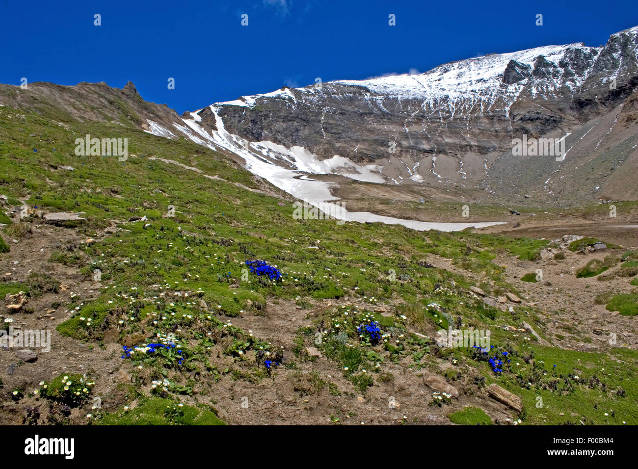 gentian family (Gentianaceae), flowering gentianas at the Grossglockner, Austria, Hohe Tauern National Park - Stock Image