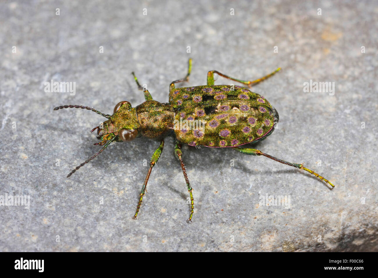 Lesser wetland ground beetles (Elaphrus riparius, Trichelaphrus riparius), on a stone, Germany - Stock Image