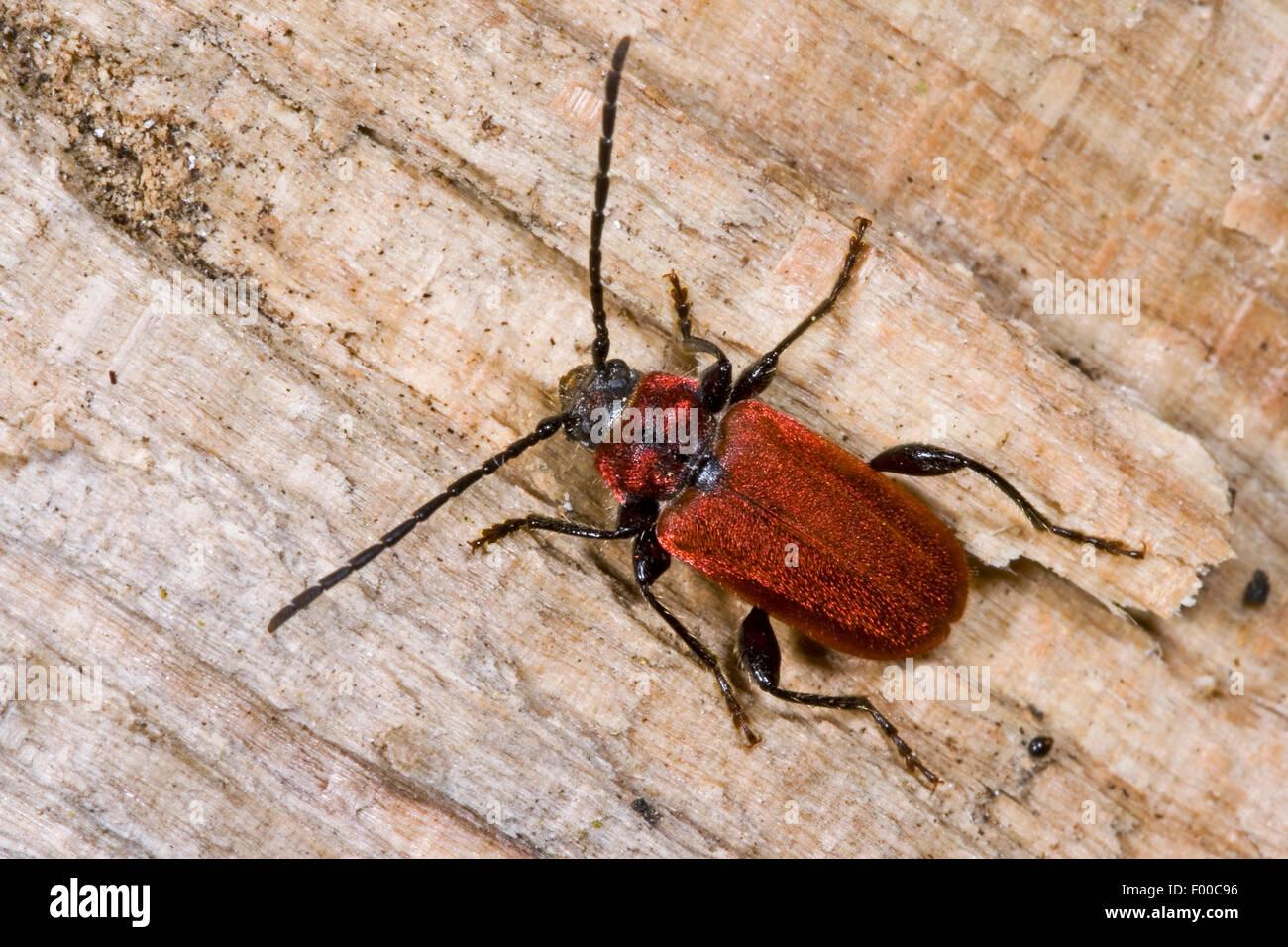 Scarlet-coated longhorn beetle, Welsh oak longhorn beetle (Pyrrhidium sanguineum), on wood, Germany - Stock Image