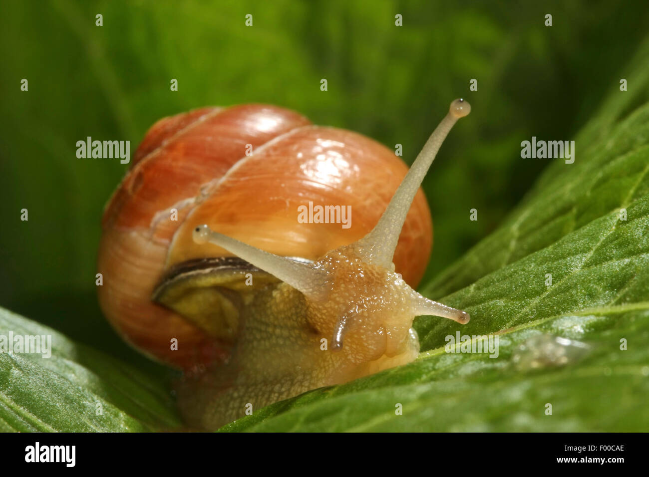brown-lipped snail, grove snail, grovesnail, English garden snail, larger banded snail, banded wood snail (Cepaea - Stock Image