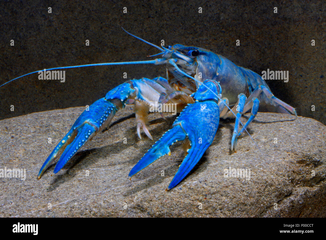 Nail Polish Crayfish (Orconectes immunis), blue morph, Germany - Stock Image