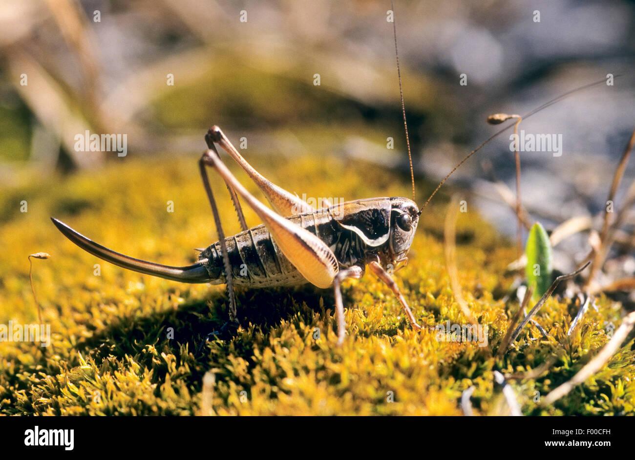 Serbian Pygmy Bush-cricket, Serbian Pygmy Bush cricket (Anterastes serbicus, Anterastes petkovskii), female - Stock Image