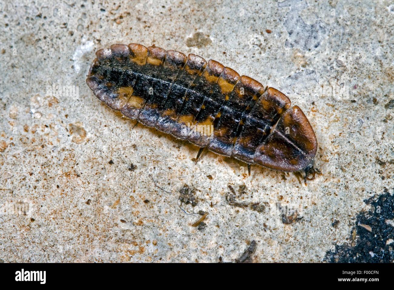 small lightning beetle (Lamprohiza splendidula, Phausis splendidula), larva, Germany Stock Photo
