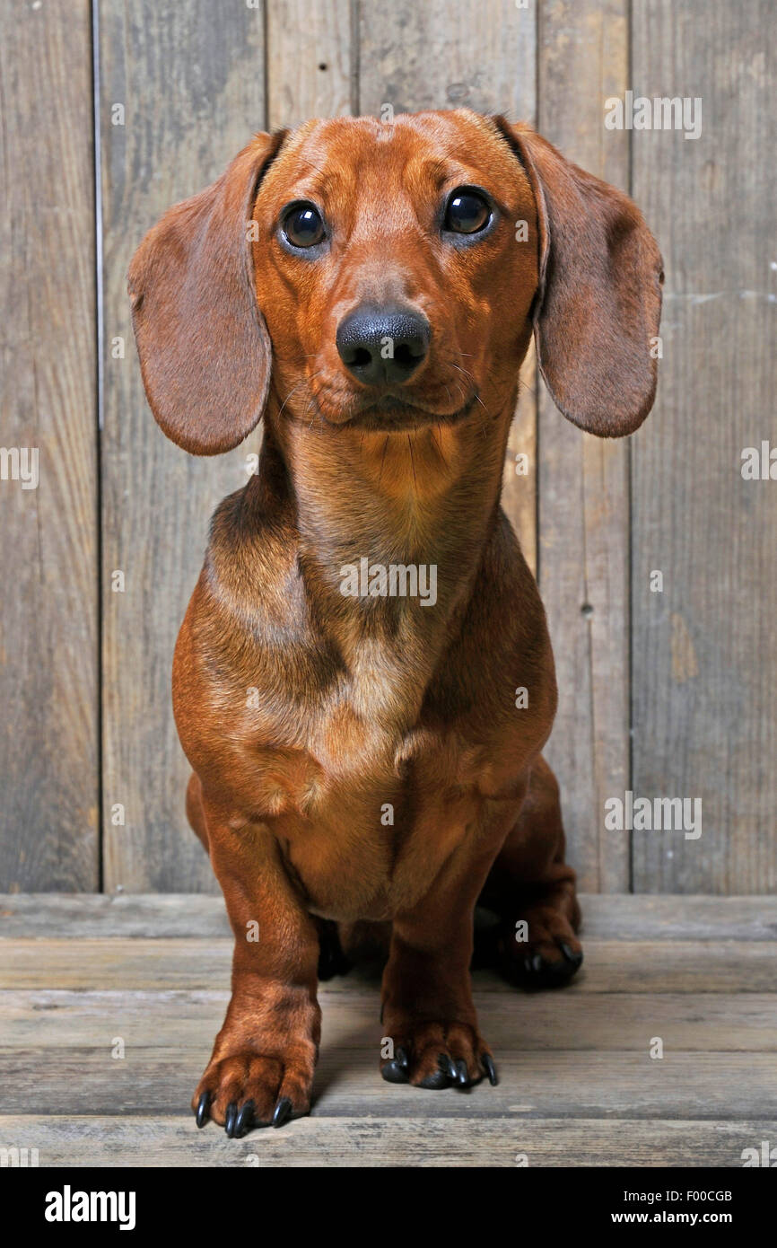 Short-haired Dachshund, Short-haired sausage dog, domestic dog (Canis lupus f. familiaris), male dog sitting on - Stock Image