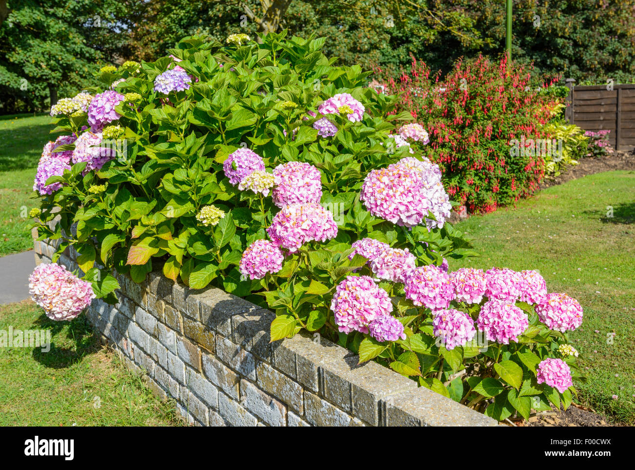 Pink Hydrangea flowers in a garden in summer in West Sussex, England, UK. - Stock Image