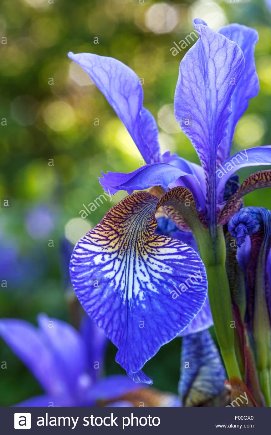 Iris Sibirica - Stock Image